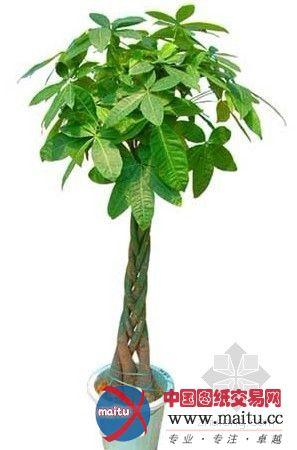 室内旺财绿植图片